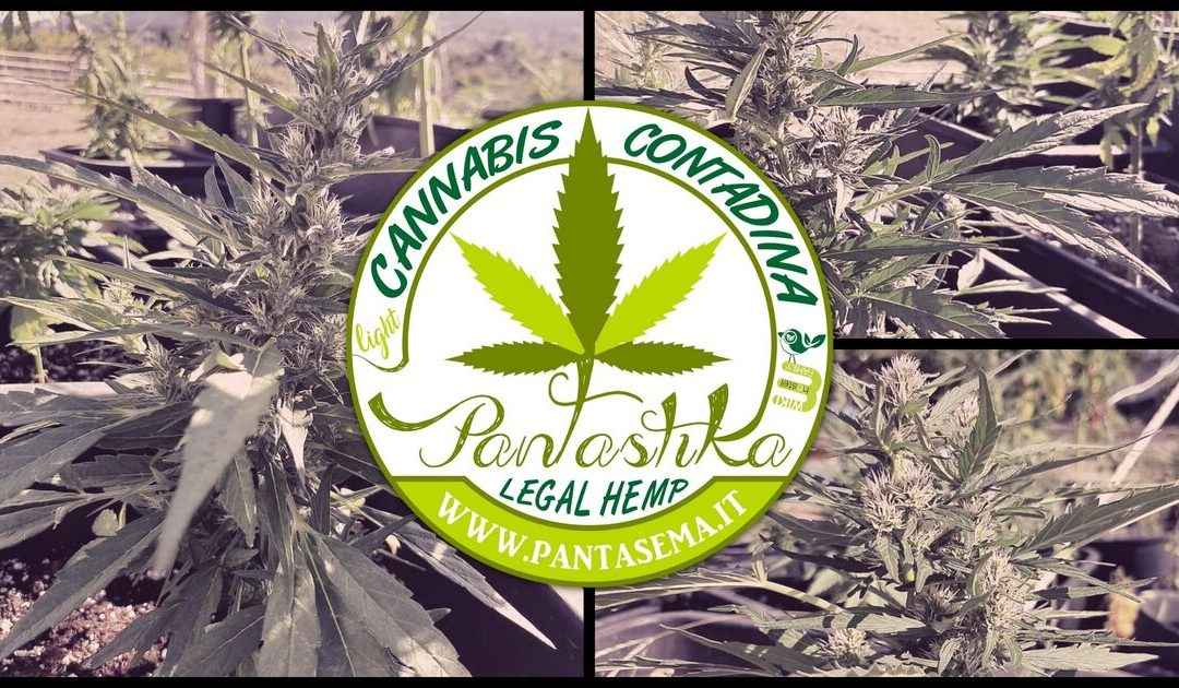 Semplicemente Pantastika! La nostra Cannabis Contadina